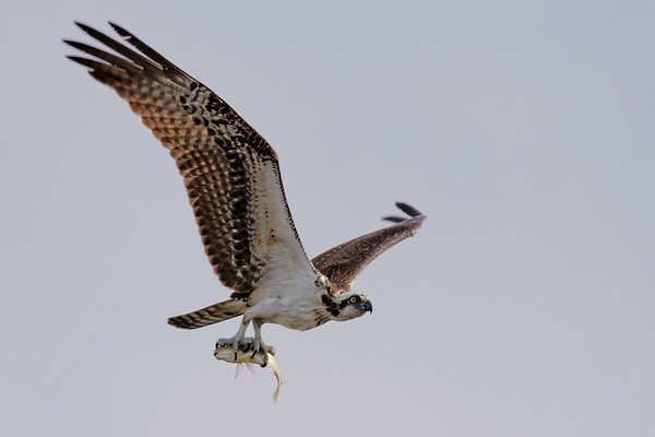 Osprey - Returns to its nest with a fresh catch