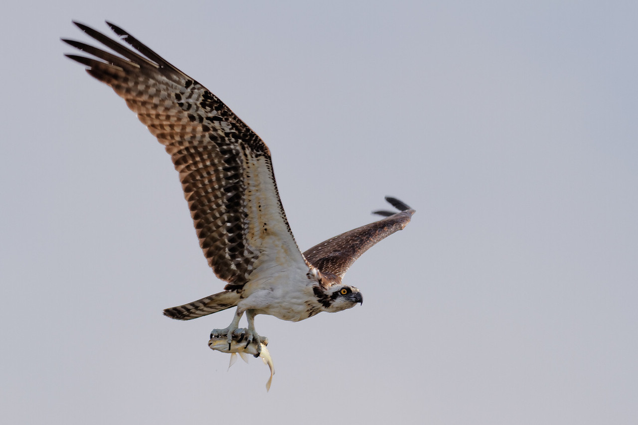 Osprey - Returns to its nest with a fresh catch