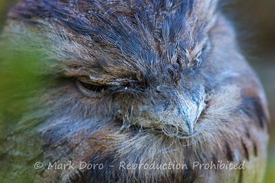 Tawny Frogmouth portrait, Lara, Victoria