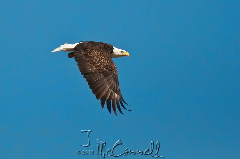 Bald Eagle on a Mission