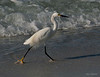 A Snowy Egret exhibits that Fifth Avenue strut.