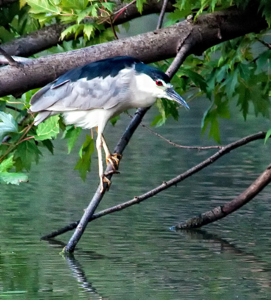 Black-crowned Night-Heron<br /> (Nycticorax nycticorax)