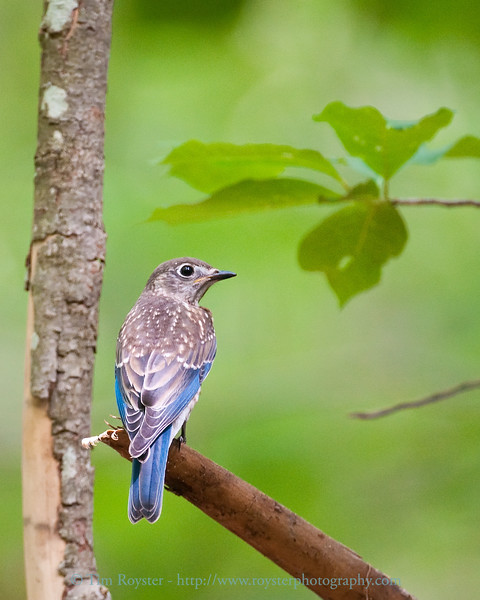 Immature Eastern Bluebird