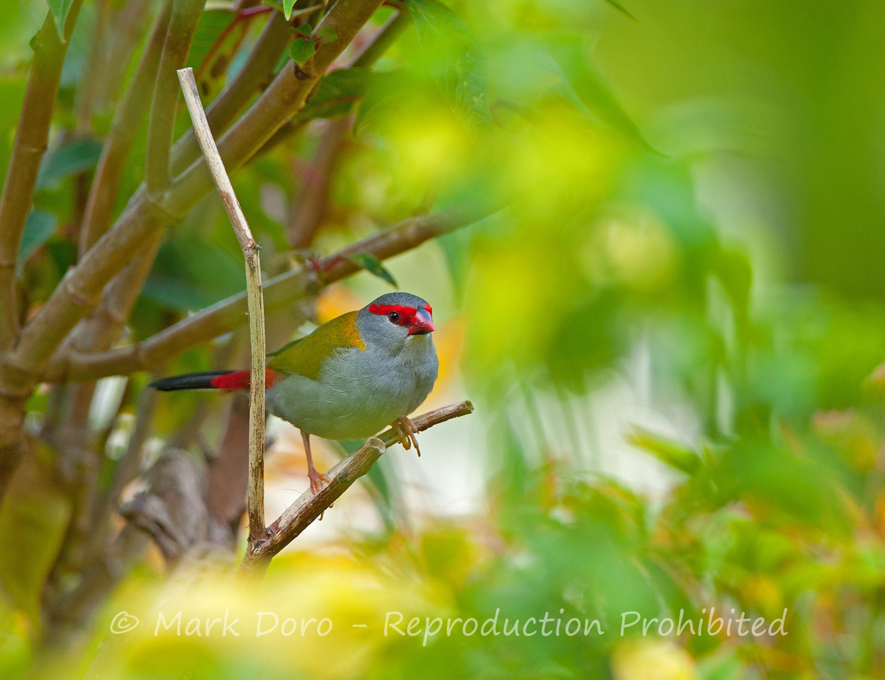 Red-browed Finch, Tea Gardens, NSW
