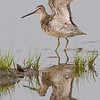 Short-Billed Dowitcher  This photograph is protected by the U.S. Copyright Laws and shall not to be downloaded or reproduced by any means without the formal written permission of Bob Arkow Photography.