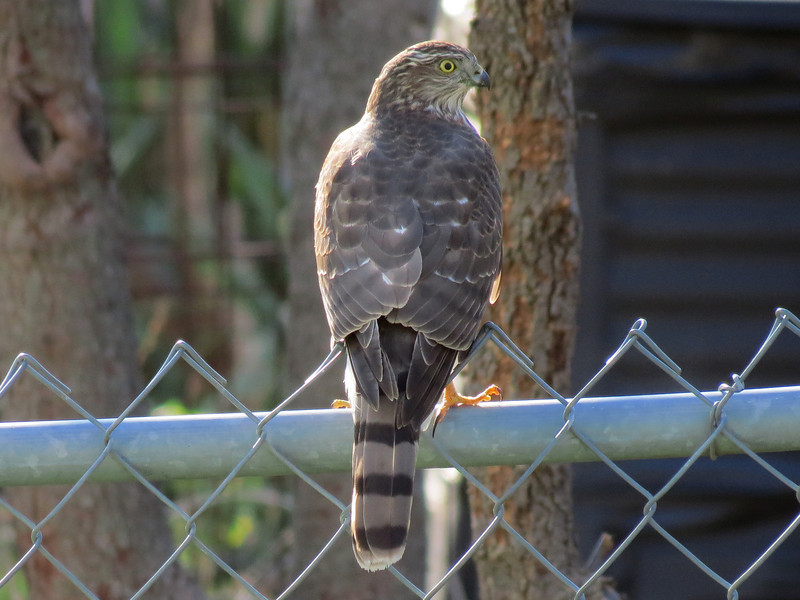 One of the small Hawks that chase the birds in the backyard.