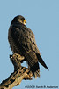 Peregrine Falcon<br /> Montgomery County, Maryland<br /> January 2009