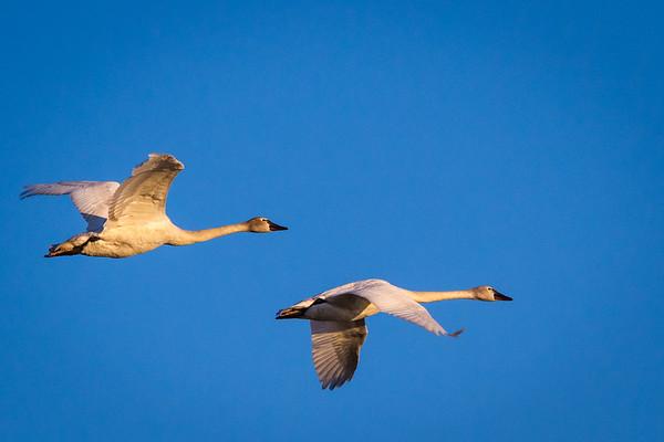 Tundra Swans Evening Flight