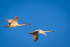 Tundra Swans Evening Flight