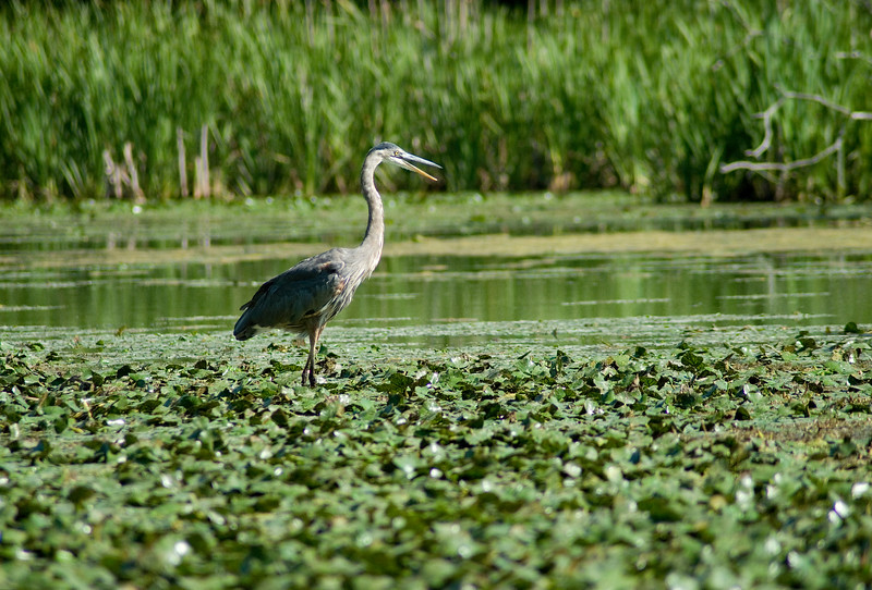 A Heron at Five Rivers Environmental Preserve