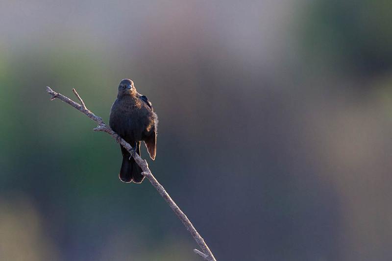 Blackbird, McKay Reservoir, Oregon