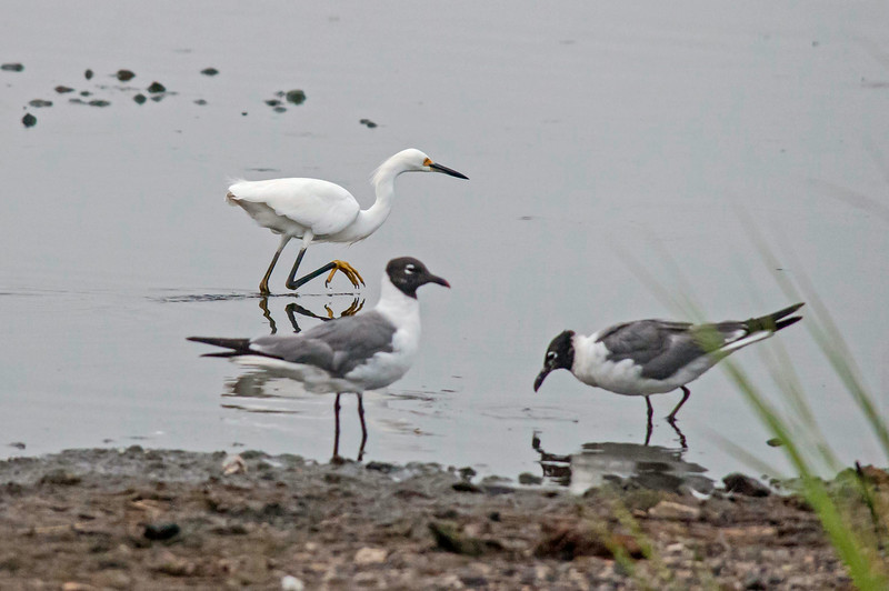 Snowy Egret and Laughing Gulls, Prime Hook NWR, 8-1-14