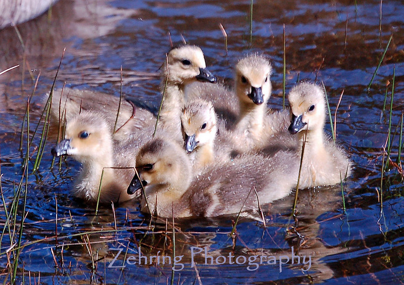 Canadian goslings huddle together for security.