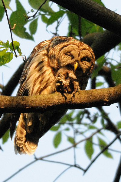 Barred owl parent with dinner<br /> Fairfax County, Virginia