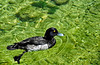Tufted Duck ('Aythya fuligula')
