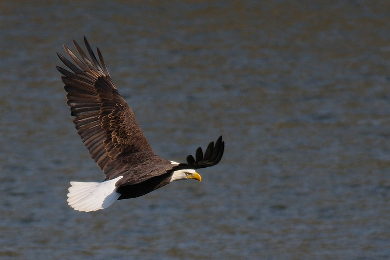 Bald Eagle<br /> Susquehanna River<br /> November 2008
