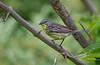Kirtland's Warbler - May 2012