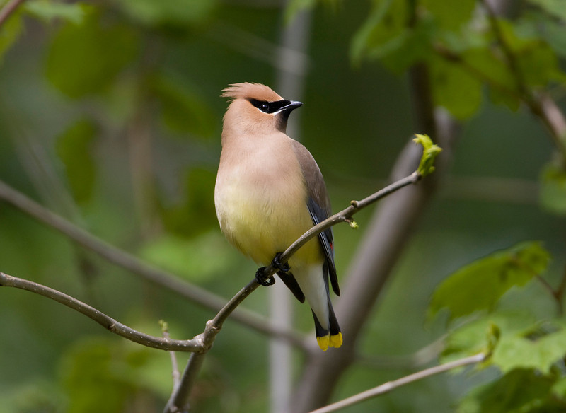Cedar Waxwing - May 2008