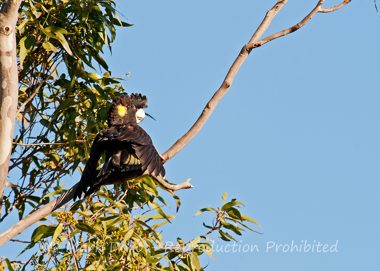 Yellow-tailed Black Cockatoo, Tea Gardens, NSW