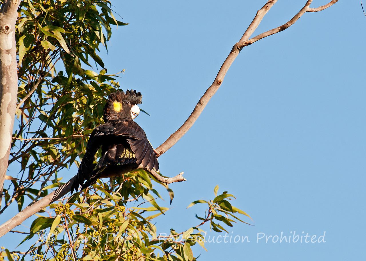 Yellow-tailed Black Cockatoo, Tea Gardens, NSW