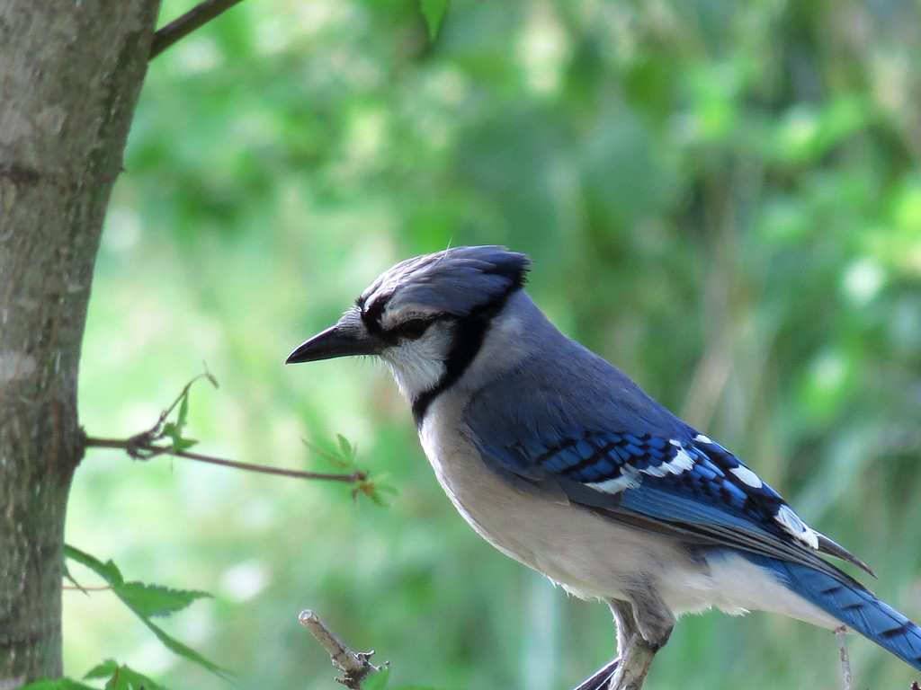 The contemplative Bluejay.<br /> <br /> He is wondering what life is all about and it is beginning to<br /> dawn on him that it is about having the experience of being a Bluejay.<br /> It is about having feathers and wings to fly among the trees<br /> and crack open sunflower seeds<br /> and loudly warn everyone when the cat is on the prowl or the hawk flys over.<br /> It's about gathering up those experiences <br /> and adding them to the Stream of Consciousness from whence all life comes...<br /> And then returning, perhaps as a different little bird, to peck open the egg shell <br /> and do it all again.