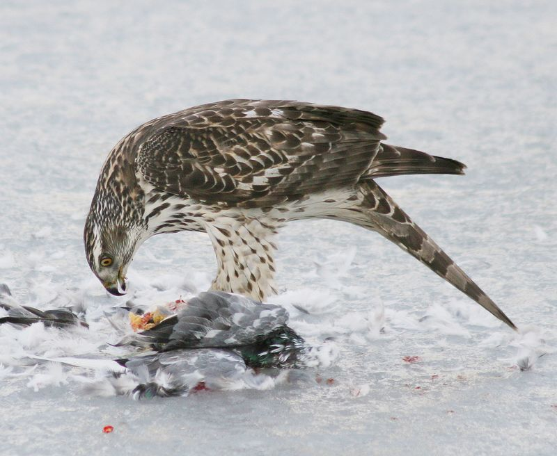 2/7/2005<br /> A Northern Goshawk took down a pigeon onto the ice covered waters of the Great South Bay.  Here he is enjoying his catch and a nice meal.