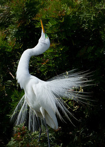 Great Egret courtship behavior