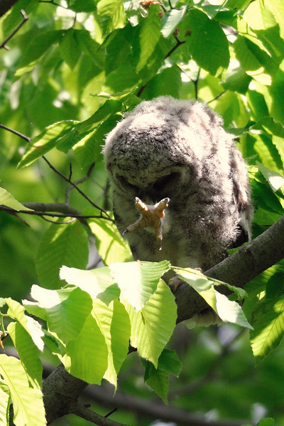 Barred owlet using The Force<br /> Fairfax County, Virginia