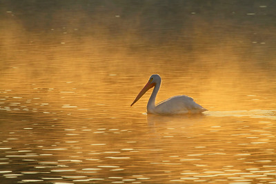 Misty Sunrise ~ American White Pelican