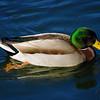 Mallard duck male.