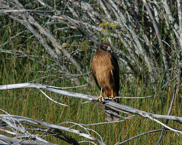 Northern Harrier - caught from the boardwalk on the north side of Mono Lake.