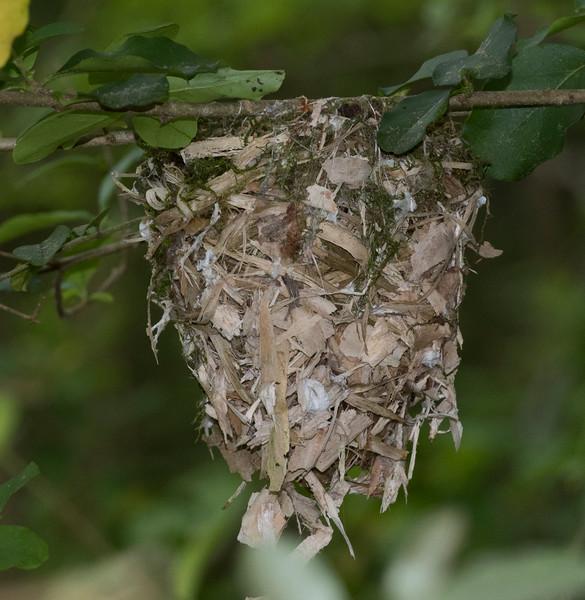 White-eyed Vireo nest