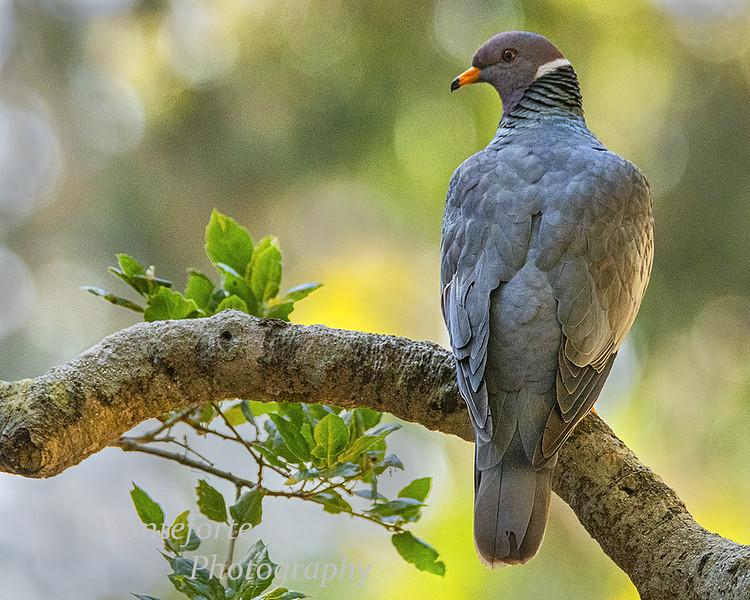 Band-tailed Pigeon Columba leucocephala