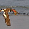 Oystercatcher in Flight<br /> <br /> This photograph is protected by the U.S. Copyright Laws and shall not to be downloaded or reproduced by any means without the formal written permission of Bob Arkow Photography.
