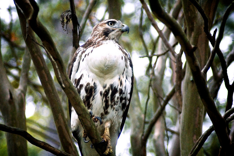 Red-Tailed Hawk (Buteo jamaicensis)<br /> Williamsburg, Virginia, USA<br /> IUCN Status: Least Concern