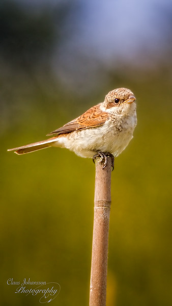 Juvenile Red-backed Shrike
