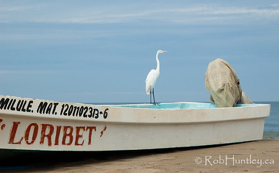 White heron standing on the gunwale of a fishing boat at Barra de Potosi, Mexico. © Rob Huntley
