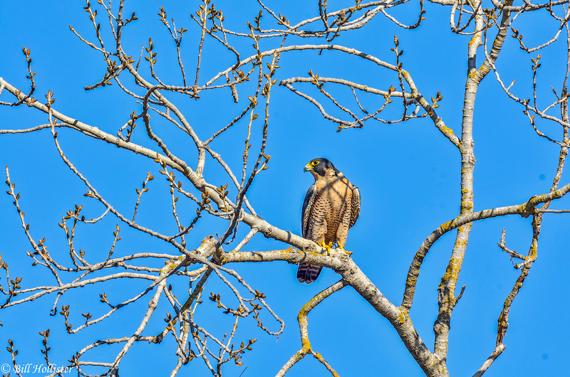 Peregrine Falcon in Central Valley 1-2012 #01