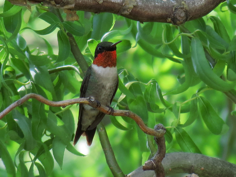 Ruby-Throated Hummingbird in the twisted branches of the Corkscrew Willow tree.