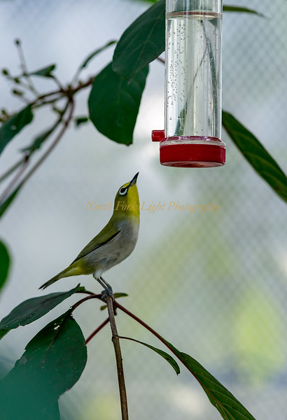 Japanese white-eyes