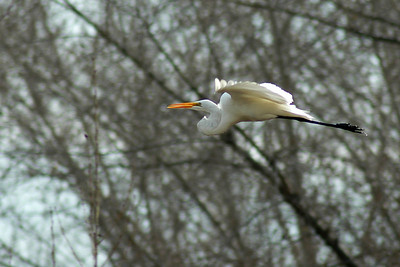 Heard this great egret grunting by and miraculously got off an in-focus shot.