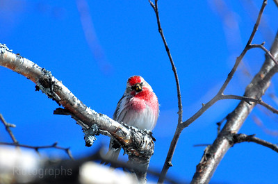 Bird Red Pole Finch, Rictographs Images 640641