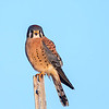 American Kestrel, Emigrant Hill, Oregon