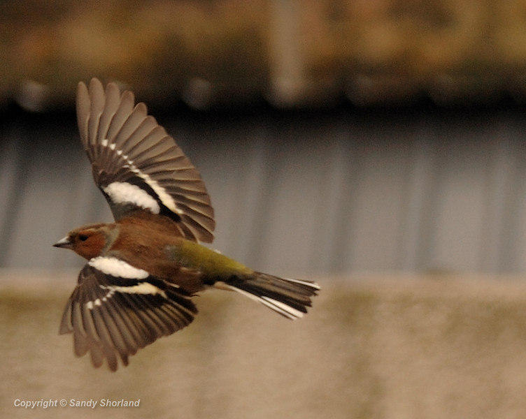 CornwallBird 2009 chaffinch in flight, photographed through window hence not so sharp