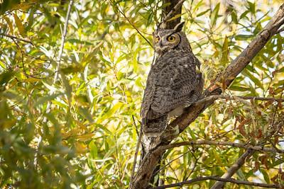 Great Horned Owl 7300