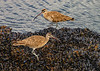 Whimbrel Numenius phaeopus on mussel bed