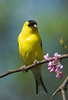 American Goldfinch, Rockville, Maryland