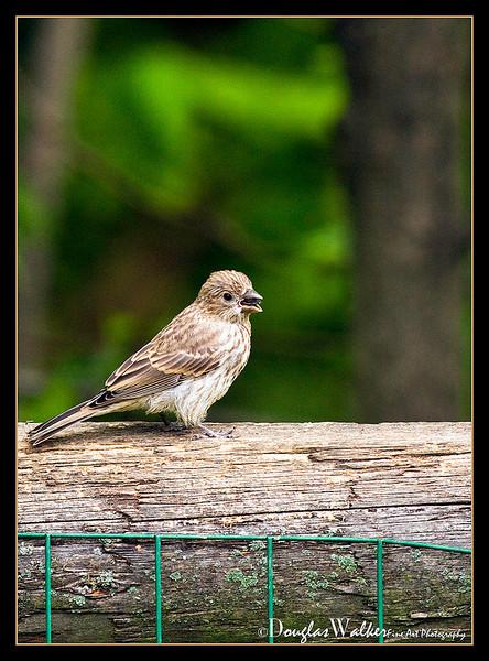 Purple Finch female<br /> (Carpodacus purpureus)