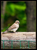 Purple Finch female<br /> (Carpodacus purpureus)