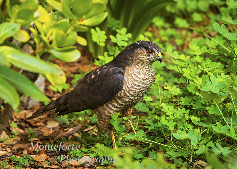Sharp Shinned Hawh Accipiter striatus